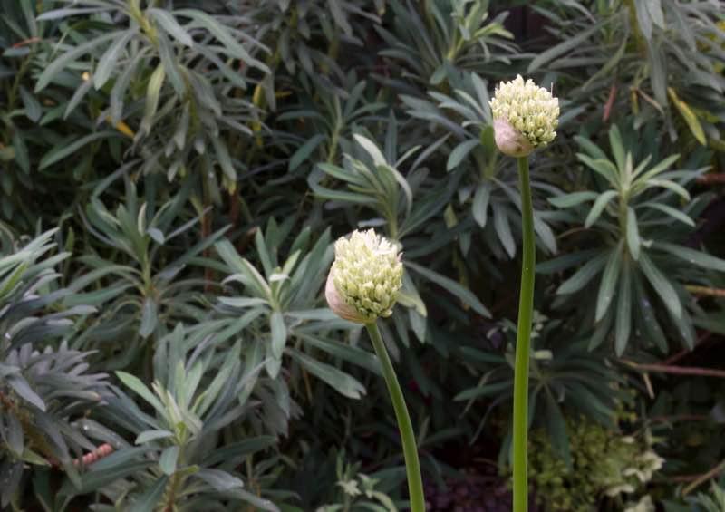 Garden Designer, Non-Morris, author of The Dahlia Papers, Allium Nigrum, Euphorbia | Fabulous Fabsters