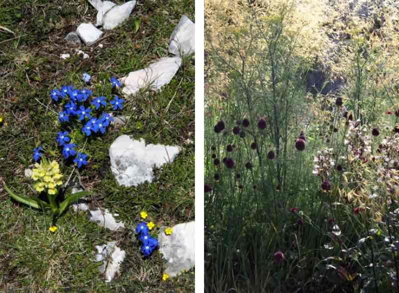 Garden Designer, Non-Morris, author of The Dahlia Papers, GENTIANA VERNA, HELIANTHEMUM NUMMULARIUM, STIPA GINGANTIA | Fabulous Fabsters